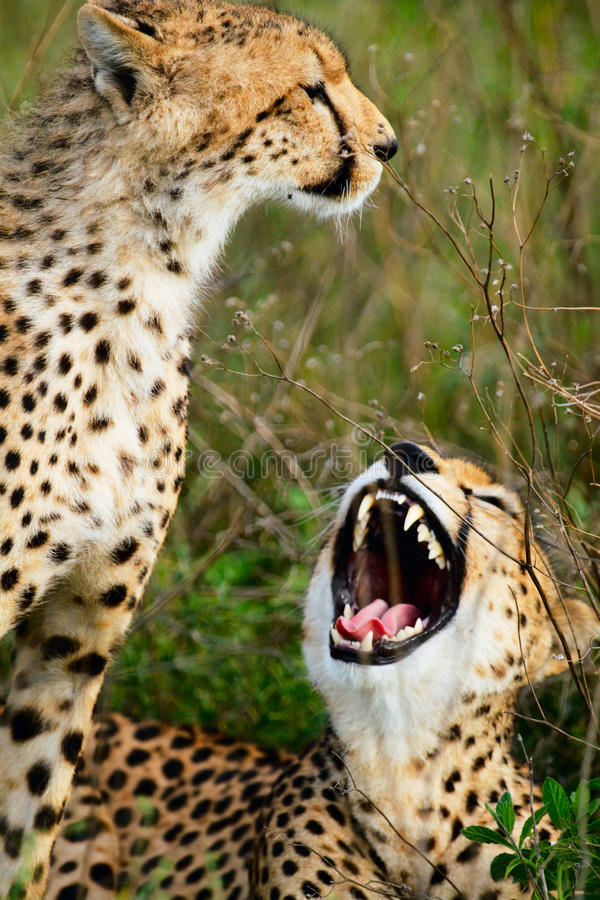 Mother and cub cheetahs royalty free stock images