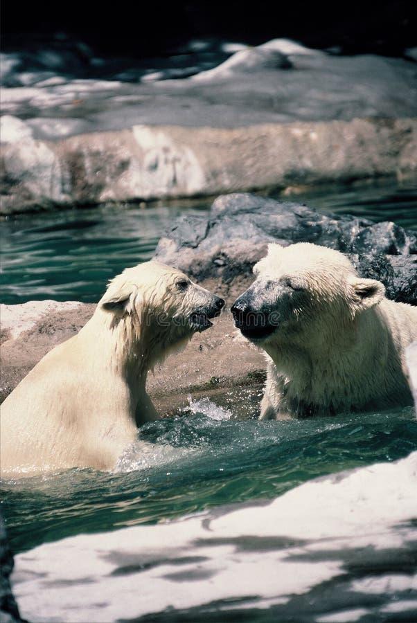 Mother and cub Polar bears. Mother polar bears plays with her cub stock photos