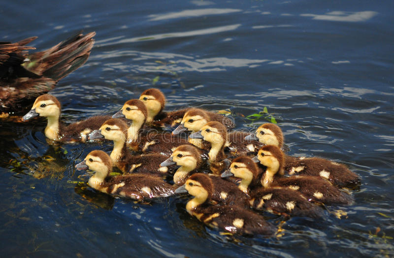 Download Mother and cute baby ducks stock photo. Image of happy - 26022048