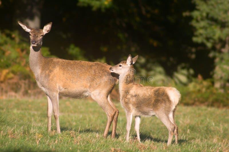 Mother deer and baby deer stock image