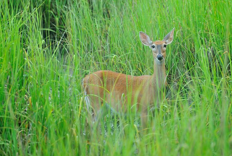 Mother Deer. A mother deer watching from the tall gress in the marsh stock photos