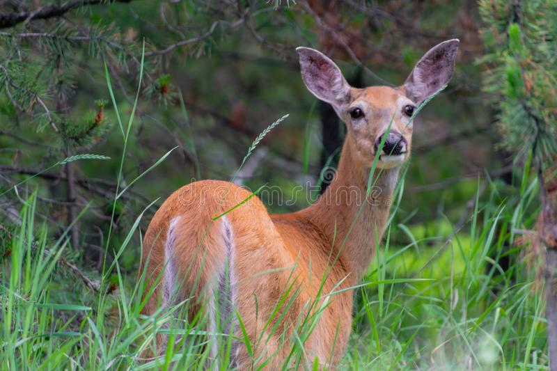 Doe in the Rocky Mountain woodlands. Mother doe in Rocky Mountain woodlands stock image
