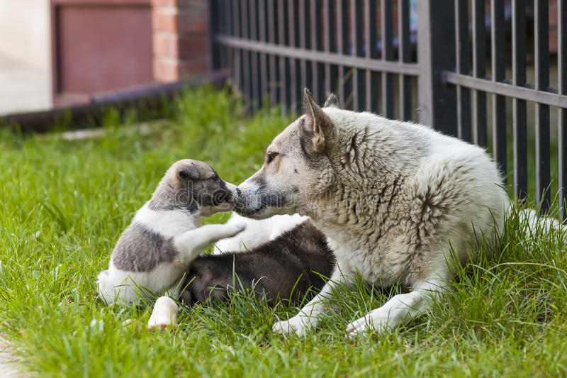 Mother dog with baby puppies, A cute puppy, a dog, dog - focus royalty free stock images