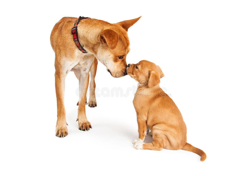 Mother Dog and Puppy. A mixed Shepherd breed dog mother and her puppy touching noses stock photos