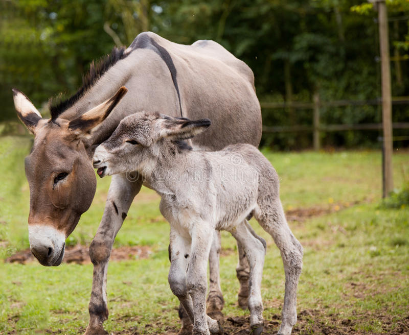 Mother donkey with foal. Mother donkey with her playful foal in the field royalty free stock image