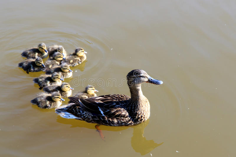 Mother duck and baby ducklings royalty free stock images