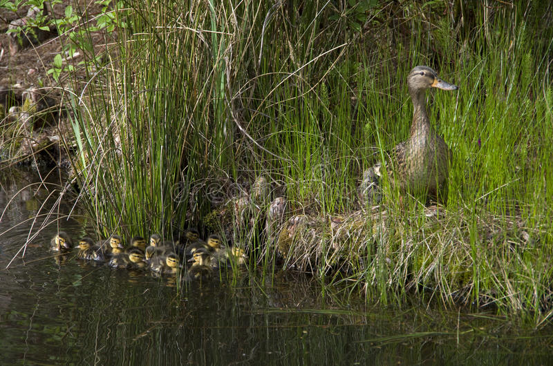 Mother duck and baby ducks duckling royalty free stock image