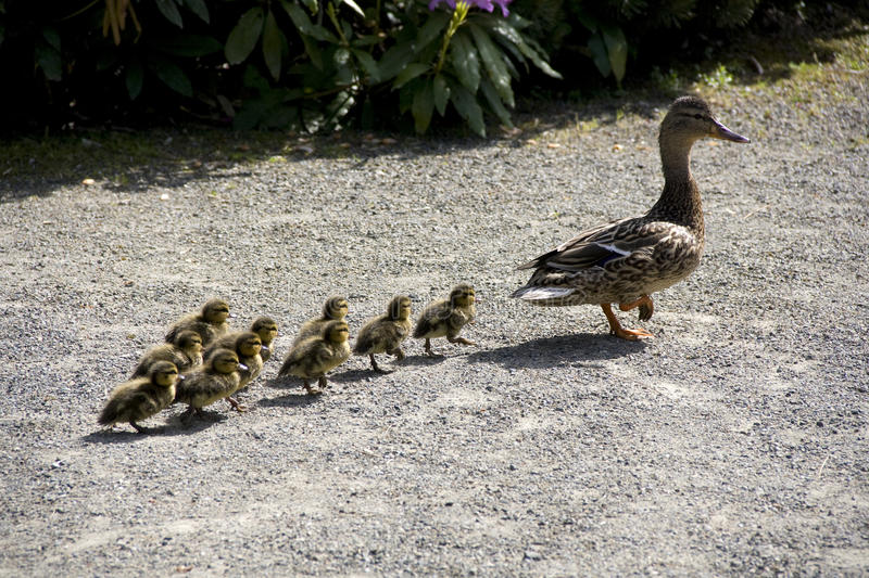 Mother duck and baby ducks royalty free stock photos
