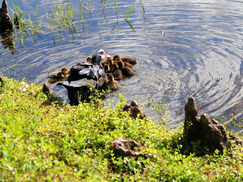 Mother duck & ducklings. Muscovy duck and her ducklings in a lake of a South Florida golf course stock image
