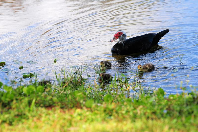 Mother duck & ducklings. Muscovy duck and her ducklings in a lake of a South Florida golf course royalty free stock photos