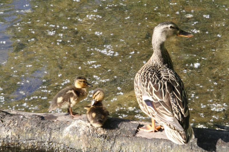 Mother duck and ducklings. A mother duck and her ducklings sitting on a log in a lake on a sunny day stock photos