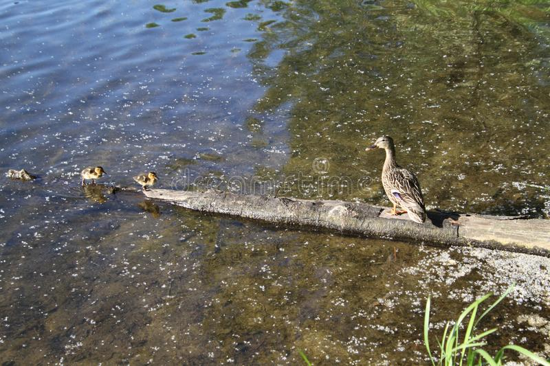 Mother duck and ducklings. A mother duck and her ducklings standing on a log on the edge of a lake stock photography