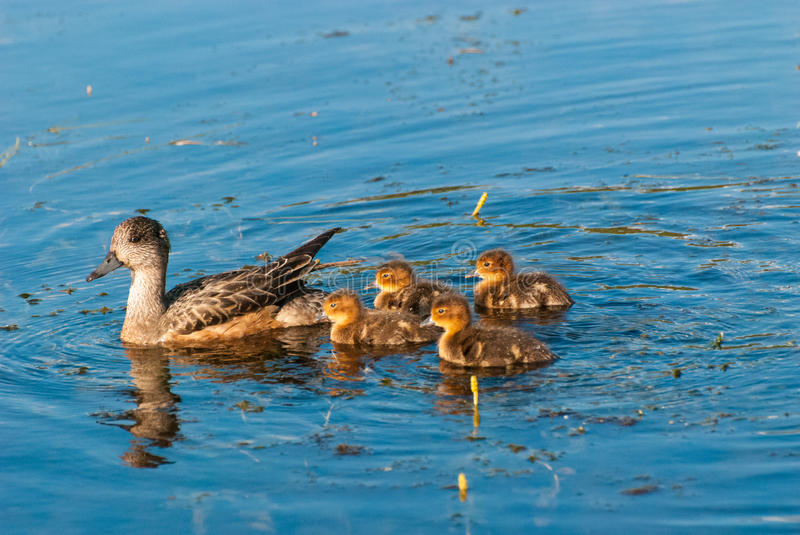 Mother Duck and Ducklings. A mother duck swimming with her ducklings stock images