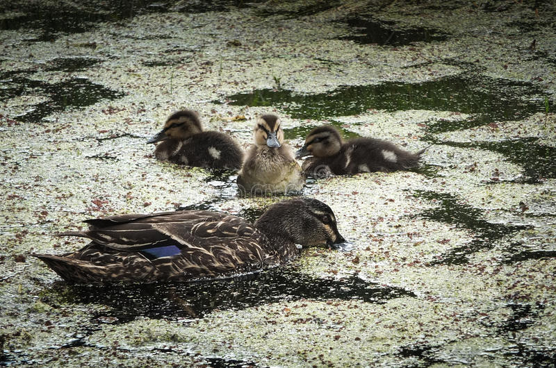 Mother duck and ducklings. Mother duck with three baby ducklings on weed covered pond royalty free stock photography