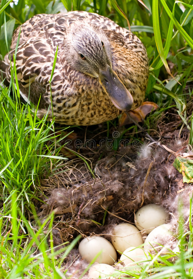 Mother-duck with eggs stock photo