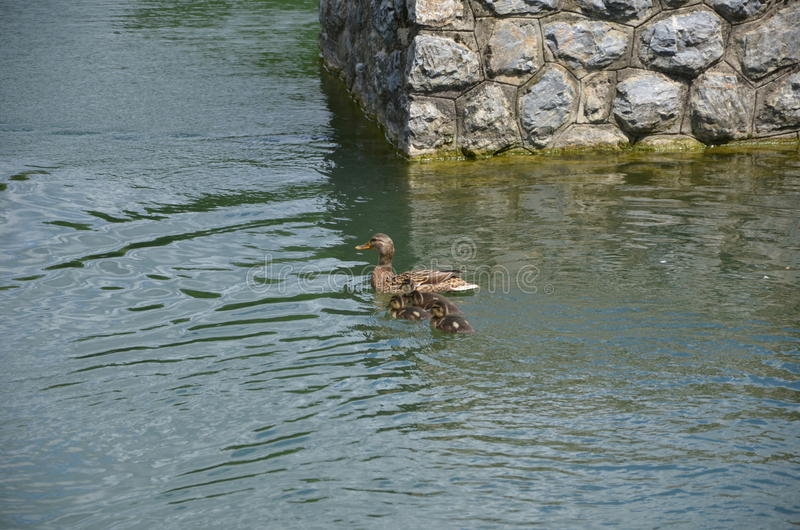 The mother duck royalty free stock photos