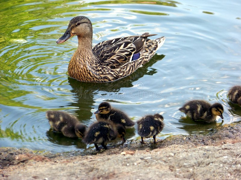 Mother Duck and Her Ducklings. Female Mallard Duck and Her Ducklings royalty free stock photos