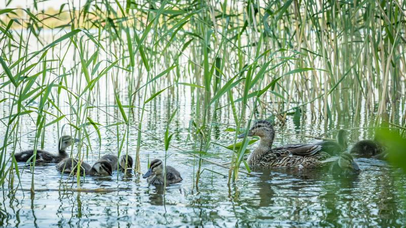 Mother duck with her ducklings. Family of ducks. Duck with chicks. Cute ducks swimming in a pond stock images