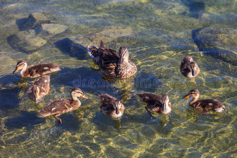 A Mother Duck with her ducklings. Swimming in the lake royalty free stock image