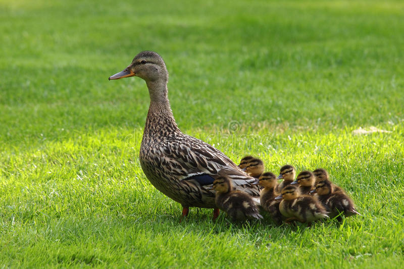 Mother duck with her ducklings. Walking on grass royalty free stock photo