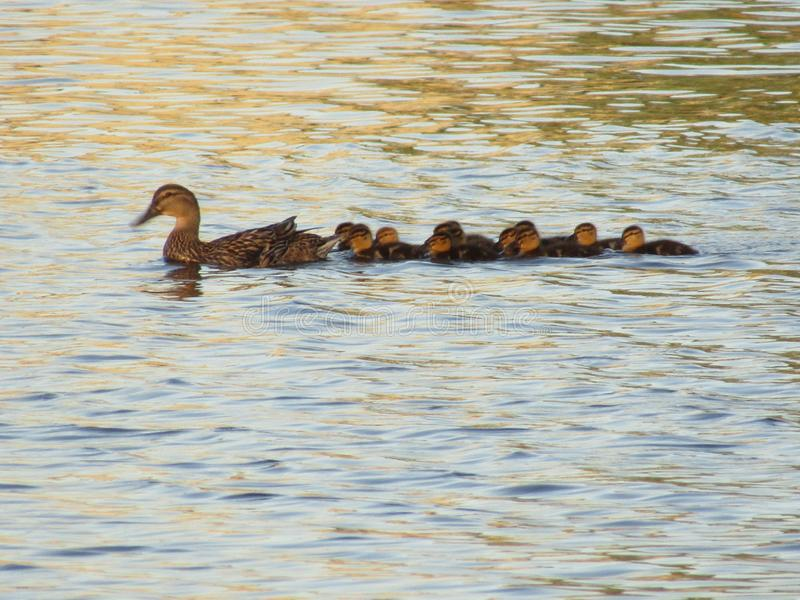 Mother duck with her ducklings. Mother duck was swimming around with her baby`s. Her ducklings stayed close to her as they swam around in the water royalty free stock image