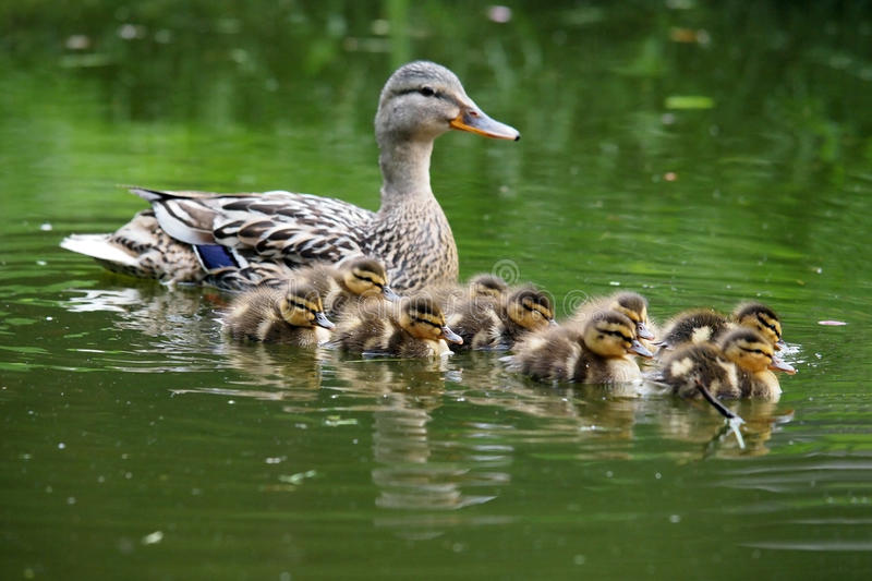 Mother duck with her ducklings royalty free stock image