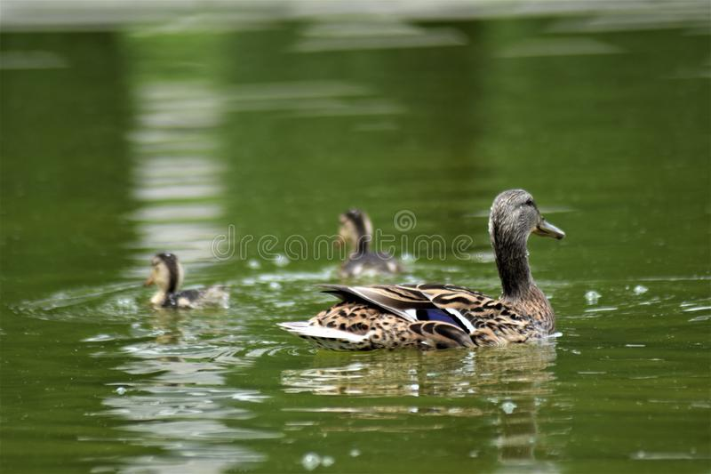 Happy family of ducks swimming into the pond stock image