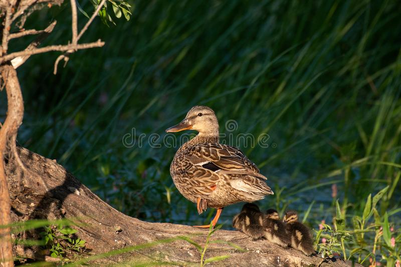 Mother duck, mallard duck, anas platyrhynchos, with ducklings on slanting old trunk against green reeds in background.  stock photos