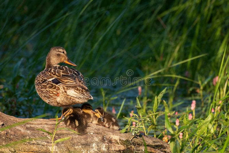 Mother duck, mallard duck, anas platyrhynchos, with ducklings on slanting old trunk against green reeds in background.  royalty free stock photo