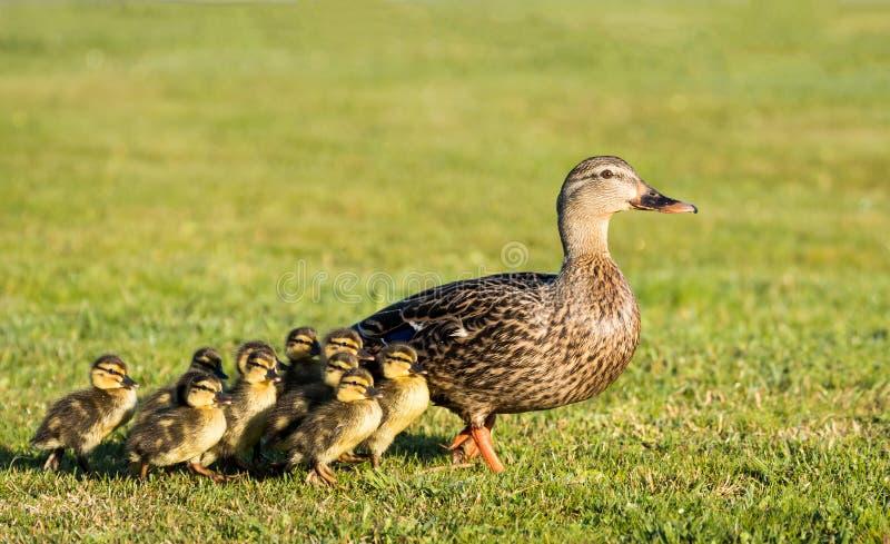 Mother Duck stock photos