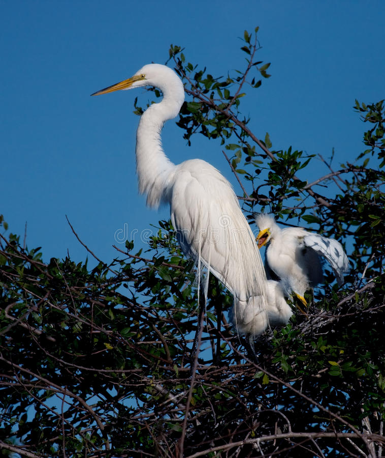 Download Mother Egret With Two Offspring Stock Photo - Image: 13250868