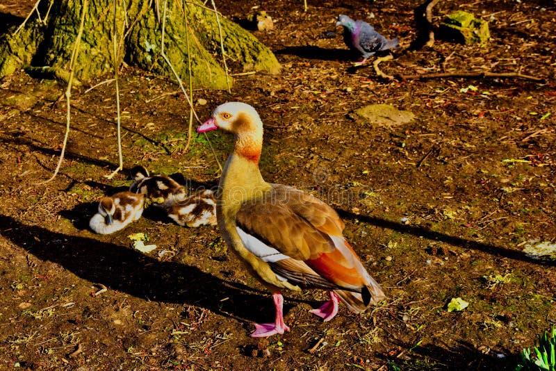 Goosey Goosey gander where shall I wonder stock photography