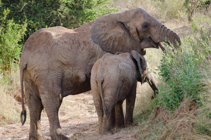 Download The mother elephant stock image. Image of grass, safari - 24432779
