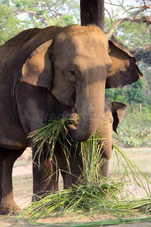 Free Mother Elephant And Baby Feeding Time Stock Image - 40653281