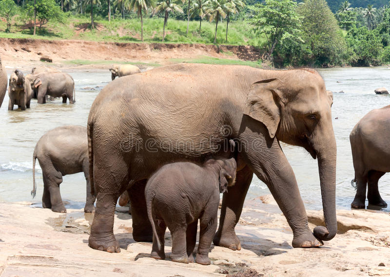 Mother elephant and baby royalty free stock image