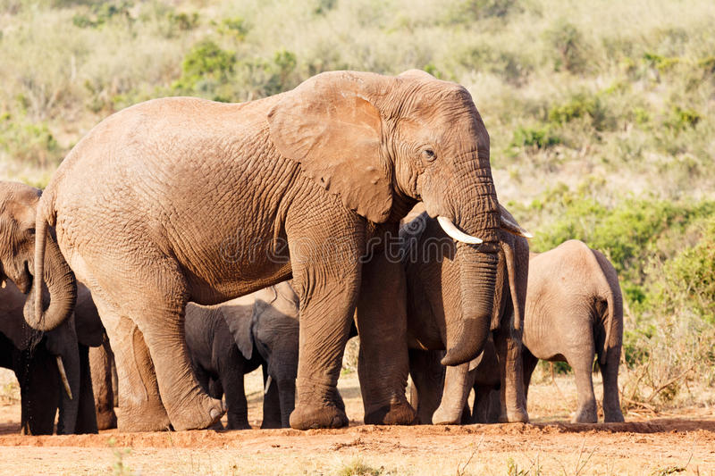 Mother elephant standing guard royalty free stock photos