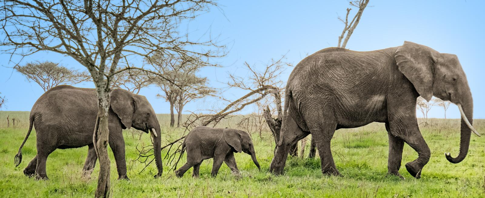 3 Elephants all in a row royalty free stock photo