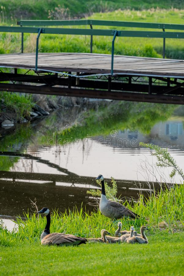 Mother and father Canadian Geese with clutch of goslings under a bridge on Elmwood Golf Course in Swift Current, SK stock image
