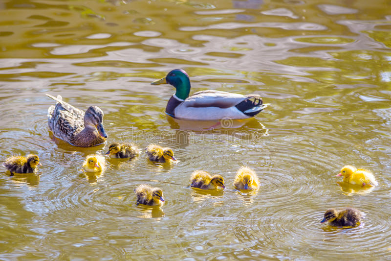 Mother and father duck with ducklings stock image