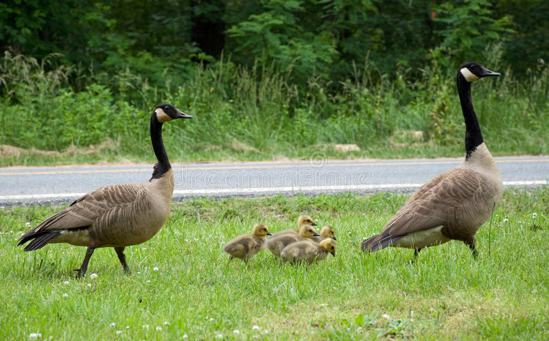 Mother and Father Goose with goslings. A group of Goslings with their mother and father. Mother Goose is a nursery rhyme stock images