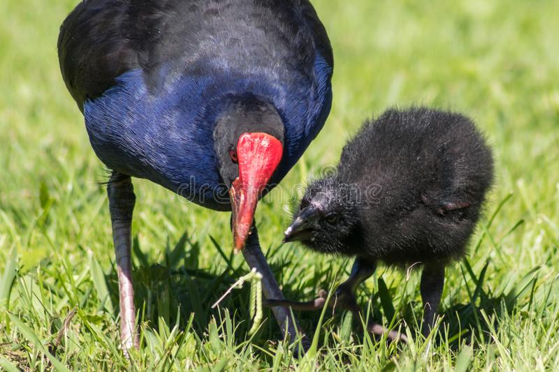 Mother feeding baby Pukeko stock photos