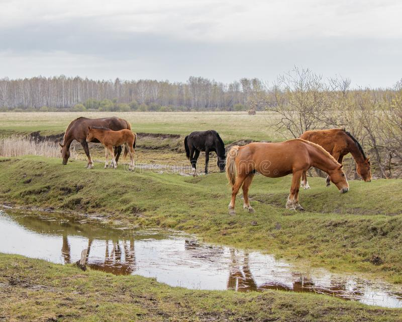 A mother with a foal and other horses calmly graze in a pasture near the water. I royalty free stock photography