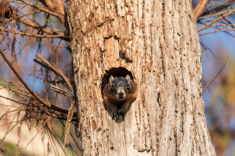 Mother Fox squirrel Sciurus niger peers out of its nest made from the hole in a tree. In Naples, Florida stock images