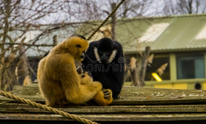 Mother gibbon holding her new born infant, Father watching, monkey family portrait stock photos