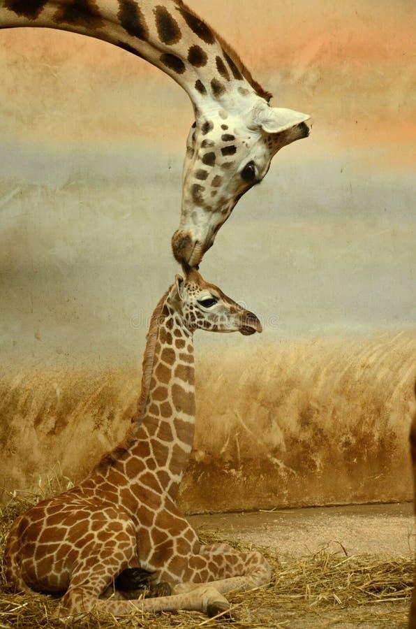 Mother-giraffe and baby-giraffe stock image