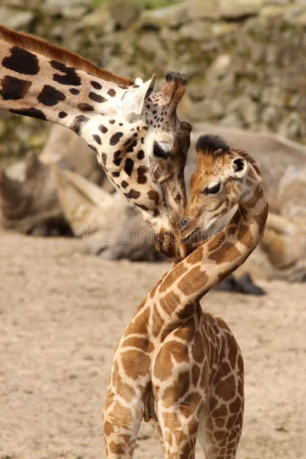 Mother giraffe cuddling with its baby stock image