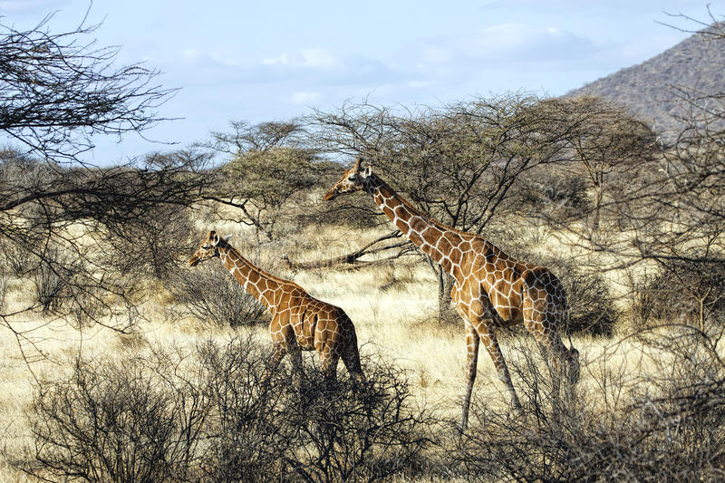 Mother giraffe and her young walking in Samburu National Reserve stock images