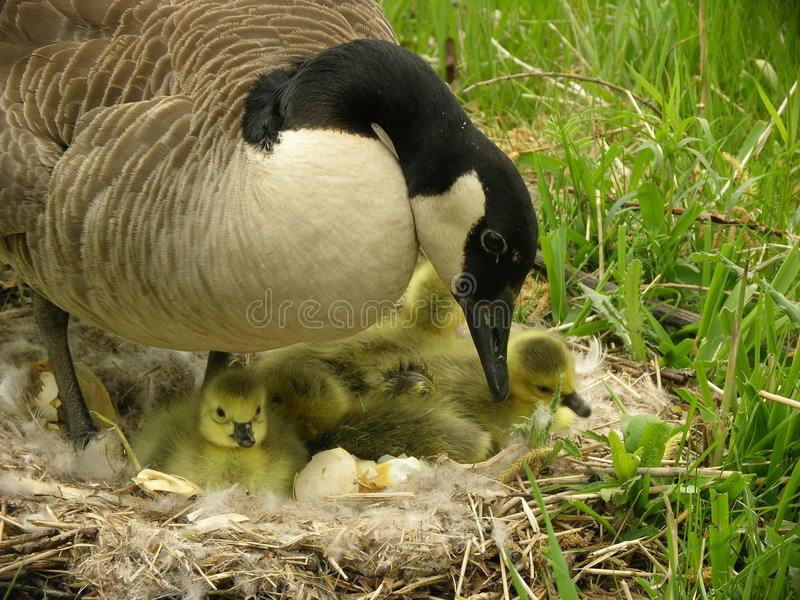 Download Mother Goose stock image. Image of babies, geese, chicks - 726119
