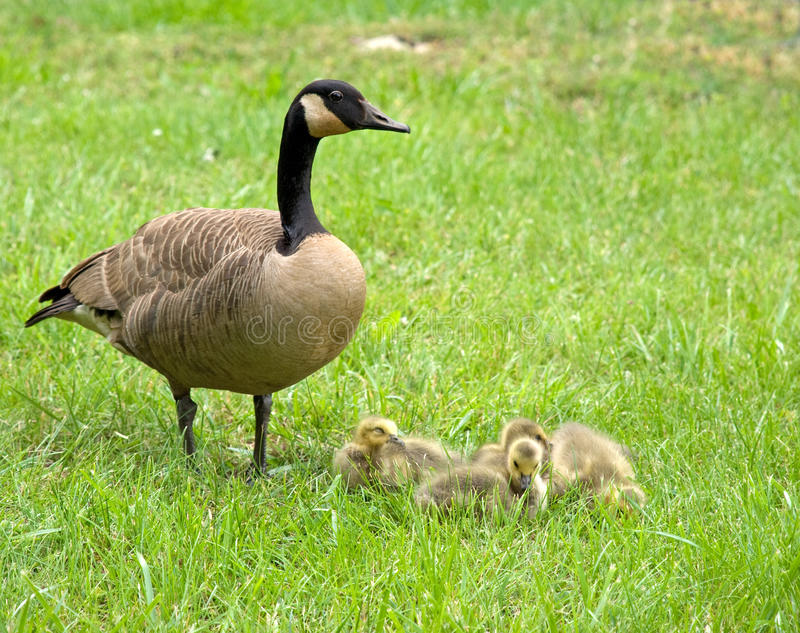 Mother Goose and goslings stock photo