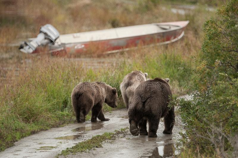 A mother grizzly bear walks with two cubs royalty free stock photo